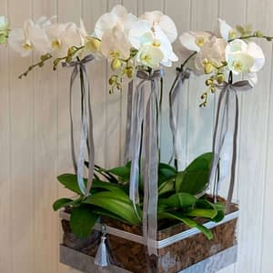 6 White Orchids in Acrylic